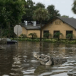 Baton Rogue residents fearful as gators swim down posh streets in 2016 flood