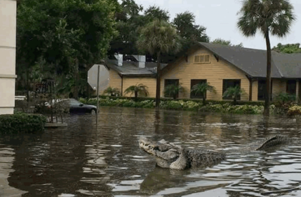 Baton Rogue residents fearful as gators swim down posh streets in 2016 flood