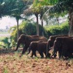 Assin South: Elephants destroy farm lands… leave locals frustrated