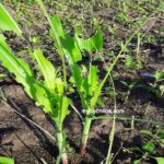 Armyworms invade farms in Akatsi North District
