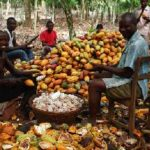 New cocoa prices meant to motivate farmers – Cocobod