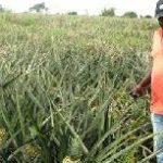 Rural Banks urged to fund cash-crop cultivation