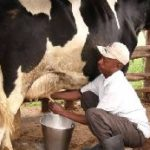 Economy losing out on US$400 billion dairy market