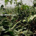 Greenhouse farming can improve Ghana's tomato production-CSIR