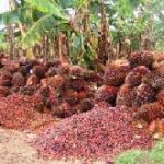 Oil Palm Association launches strategic plan