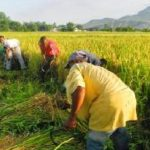 25,000 rice farmers benefit from TechnoServe CARI project