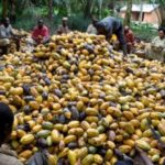 Galamsey Is Biggest Threat Confronting Cocoa Farmers
