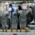 Global trade in African grey parrots banned