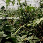 Greenhouse farming can improve Ghana's tomato production-CSIRGreenhouse farming can improve Ghana's tomato production-CSIR