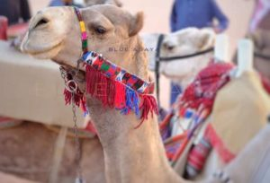 Photos: 12 camels disqualified from a beauty contest with $57 million grand prize in Saudi Arabia