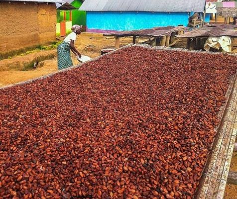 Ghana may miss cocoa target: Cocobod