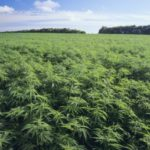 Zimbabwe legalizes Cannabis Cultivation for Medical and Scientific use