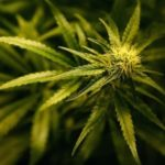 Japan: Cannabis plants found growing near MPs' offices