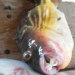 Donkorkrom: Two dead, four in critical condition after consuming puffer fish