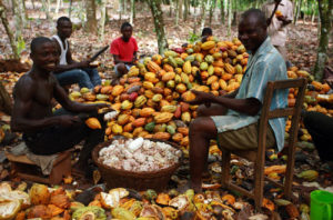 Cocoa Producer Price increased by 28%