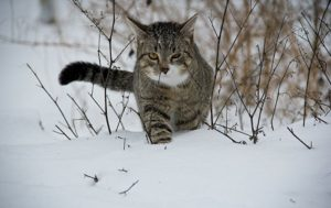 Int'l Conflict: Russian Cat Fighting With Fox Over Sausage on Border (VIDEO)