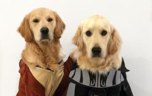 May the Dog Force Be With You: Golden Retrievers Pose for Photos