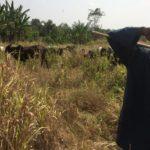 New nomadic herdsmen invade New Juaben North