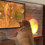 Best in Show: Curious Golden Retriever Watches Television