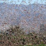 Biblical Prophecy in Action? Egypt Braces for Imminent Plague of Locusts
