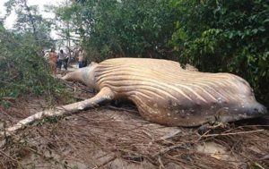 Mystery as Huge Dead Whale Found in Brazilian Jungle (PHOTOS)