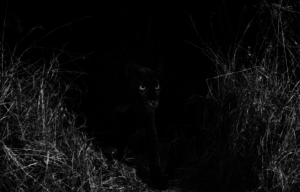 "PHOTOS: Rare black leopard 'Black Panther"" spotted in Africa for the first time in 100 years"