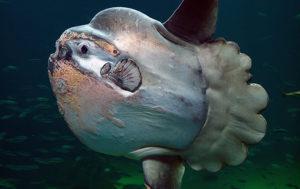 Huge Sunfish Washes Ashore in Australia (PHOTOS)