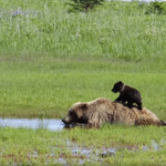 Mama Bear Tries to Nap While Cub Plays on Her Back