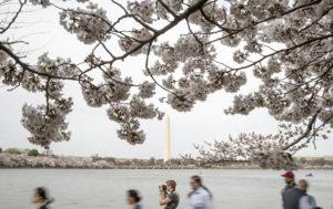 Cherry Peaking: Washington DC's Royal Trees Burst Into Bloom (PHOTOS, VIDEOS)
