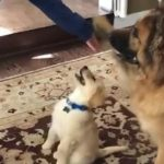 Doggo Lessons: Puppy Epically Fails to 'Give Paw'