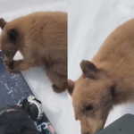 Brown Bear Yearling Cozies Up to California Snowboarders