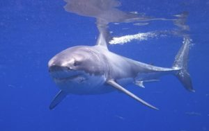 Scientists Following Huge White Sharks Cruising US East Coast (PHOTOS)