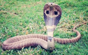 Cobra Lays Eggs on Indian Road, Video Goes Viral