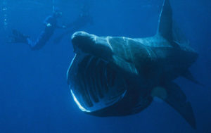 'Big as a Bus': Record Number of Basking Sharks Seen Off US Coast (VIDEO)