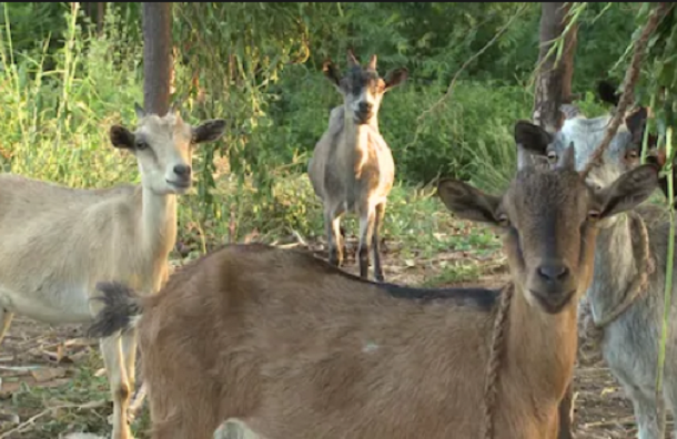 Four arrested goats to be auctioned