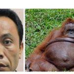 Zoo keeper impregnates female Orangutan-Baboon