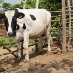 Ugandan cows 'to get birth certificates'