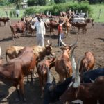 Ugandan Government to issue birth certificates for cows