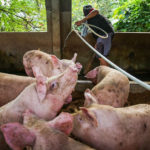 South Korea to kill 4,000 pigs as it confirms first African swine fever outbreak
