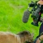 Agonizing moment BBC cameraman had his pen!s smacked by rare sheep as he filmed the animal