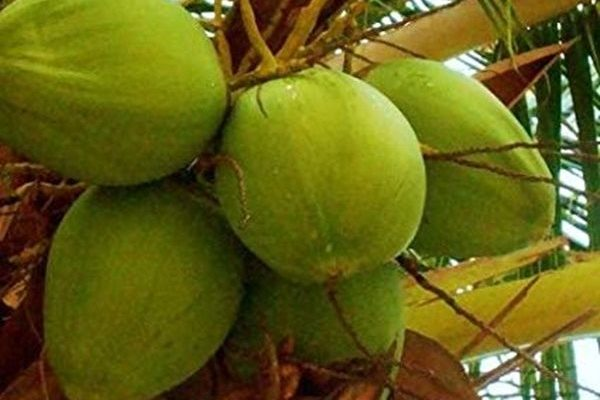 Coconut production to go up by 2022 — GEPA