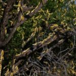 FAO warns of possible locust invasion in Ghana