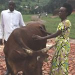 Cow named after Robert Burns given to Rwandan hero