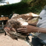 'Strange bird' from London found in Ghana with website address