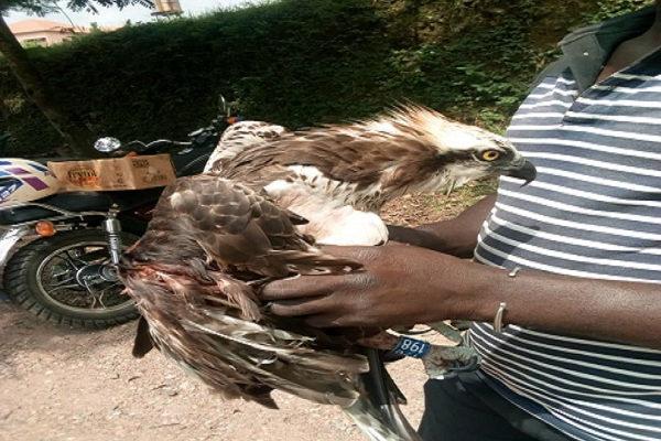 'Strange bird' from London found in Ghana with website address