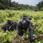 Four rare mountain gorillas 'die in Uganda lightning strike'