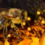 Two injured as bees invade Bolgatanga Police Command