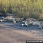 Coronavirus: Lions nap on road during South African lockdown