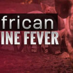 Togo reports an outbreak of African swine fever