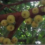 Girl who planted Wiamoase Apple tree died five years ago
